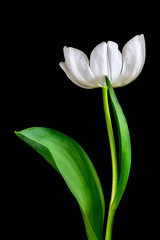Oh, My!! (cd32919) Tags: tulip white flower beauty bud flowers fresh live nature outdoors cyndydoty