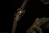 Paraphilaeus daemeli (dustaway) Tags: arthropoda rainforest rprr rotarypark lismore nature northernrivers nsw australia arachnida araneae araneomorphae salticidae paraphilaeusdaemeli jumpingspider australianspiders