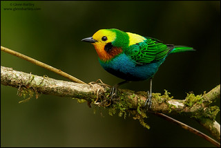 Multicolored Tanager (Chlorochrysa nitidissima)