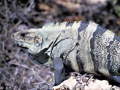 Biggest Iggy (thomasgorman1) Tags: dinosaur iguana reptile island mujeres canon mexico wildlife nature closeup portrait caribbean