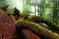 Forest of Fallen Giants (Hector Prada) Tags: forest spring fog mist tree fallen leaves mushrooms mood moss bosque primavera niebla bruma árbol hojas hongos nature naturaleza atmósfera musgo hectorprada paísvasco basquecountry