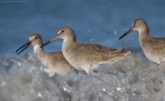 Three Amigos (Cameron Darnell) Tags: willet bird 2018 beach wave january florida nature