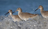 Three Amigos (Cameron Darnell) Tags: willet bird 2018 beach wave january florida nature