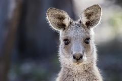 Eastern Grey Kangaroo 2018-02-26 (7D_182A2893) (ajhaysom) Tags: easterngreykangaroo kangaroo woodlandshistoricpark melbourne australia canoneos7dmkii tamron150600mmf563divcusdg2