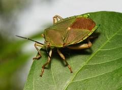 Tessaratomid Giant Shield Bug (Tessaratomidae) (John Horstman (itchydogimages, SINOBUG)) Tags: insect macro china yunnan itchydogimages sinobug entomology bug shield stink hemiptera tessaratomidae