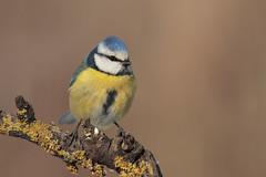 Cinciarella (Marcello Giardinazzo) Tags: cinciarella avifauna bird birds natura italia wild uccelli