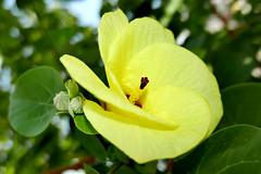 balibago (Hibiscus tiliaceus) (DOLCEVITALUX) Tags: hibiscustiliaceus balibago malabago flower flowers flora fauna philippines lumixlx100 panasoniclumixlx100