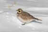 Horned Lark (rdroniuk) Tags: birds smallbirds passerines hornedlark eremophilaalpestris oiseaux passereaux alouettehaussecol