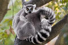 Camera Hog! (brian.pipe) Tags: nikon d500 80 400 afs ring tailed lemur wildlife nature dallas zoo dfw texas tx