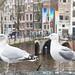 Möwen in Amsterdam