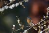 紅胸鶲_梅花版 (chungmuwei) Tags: bird taiwan 石門 鳥 台灣 梅花 nature 自然 flycatcher 紅胸鶲 鶲 d7100 nikon 300mm