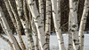 Birches (jtr27) Tags: dscf6447xl jtr27 fuji fujifilm xt20 xtrans xf 1855mm f284 rlmois lm ois kitlens kitzoom birch bark durandlake randolph new hampshire newhampshire newengland winter