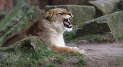 LADY NAIMA (babsbaron) Tags: nature tiere animals katzen cats raubkatzen grosskatzen bigcats löwen löwin lions lioness berberlöwe berberlion zoo erlebniszoo hannover