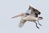 Flight P101 coming into land (christinaportphotography) Tags: australianpelican pelecanusconspicillatus pelican berkeleyvale centralcoast nsw australia bird birds wild free flying landing focus dof sky