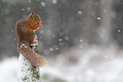 Red Squirrel - Weatherproof (crittersnapper) Tags: redsquirrel redsquirrelinsnow redsquirrelinwoodland redsquirrelinwinter scottishwildlife scottishnature perthshirewildlife