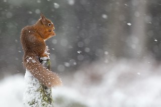 Red Squirrel - Weatherproof