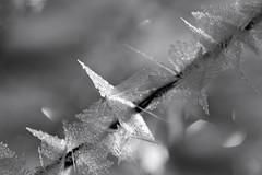 Ainsi parlait le froid (Emmanuelle2Aime2Ailes) Tags: nb monochrome givre macro bokeh 7dwf
