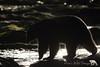 Outline (PamsWildImages) Tags: bc britishcolumbia blackbear canada canon nature naturephotographer wildlife wildlifephotographer pamswildimages pammullins vancouverisland