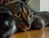 Pacha (laura.mnz) Tags: gatto casalingo animale natura amico love cat occhi tigrato grigio marrone macro gattiitaliani