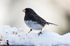 Junco with seed (londa.farrell) Tags: 2018 canada canon canondslr canoneos7dmarkii dslr january novascotia bird birds cold daytime junco nature outdoor snow wildlife winter
