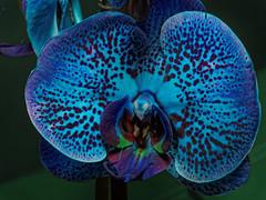 blue orchid - happy V-Day (zdm69) Tags: orchidee orchid blue blau zdm69 olympus omd em1 blume flower nahaufnahme macro makro 7dwf