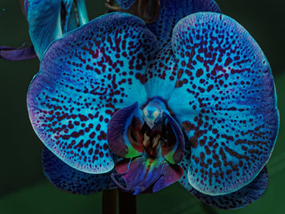 blue orchid - happy V-Day