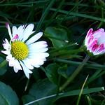 Gänseblümchen thumbnail