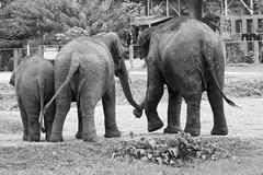 Family bonds (Lauro Meneghel) Tags: asia bn bw chiangmai elephant feelings thailand travel bonds elefante emotions family natura nature protection thai tailandia trip southeastasia exploring adventure world culture discover vibes sensations stunning