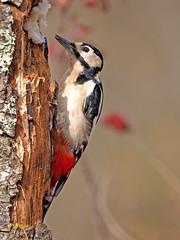 Pico picapinos (Dendrocopos major) (16) (eb3alfmiguel) Tags: aves pájaros carpintero piciformes picidae pico picapinos dendrocopos major pájaro árbol hierba animal bosque