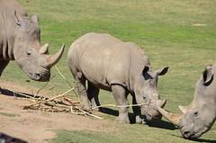 DSC_4114 (Andrew Nakamura) Tags: animal mammal rhino rhinoceros whiterhinoceros southernwhiterhinoceros southernwhiterhino grazing rhinojuvenile sandiegozoosafaripark safaripark escondido