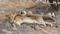 Samburu National Reserve, Kenya (mortenekstrøm) Tags: samburu kenya lion