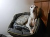 millie (adore62) Tags: d dogs dogwalk dog pug whippet lurcher italiangreyhound