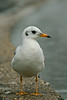 (zsolt75) Tags: canon100d sigma 70300 hungary lake bird wildlife handheld gull