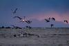 漁場ーFishing ground (kurumaebi) Tags: yamaguchi 秋穂 nikon d750 nature 自然 landscape 海 sea 夕焼け dusk 波 wave cloud 雲 birds 鳥