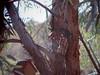 suet cake bird (EllenJo) Tags: analoglens digitalcameraandanaloglens pentaxqwithpentaxklens pentaxqs1 january2018 2018 ellenjo redbird bird suet atthesuetfeeder eucalyptustree