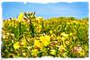 Summer light (IBU-TT.1) Tags: summer zomer beach strand flower bloem grote teunisbloem oenothera glazioviana yellow wild flowers gele wilde bloemen duinbloemen