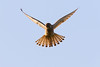 Kestrel (Natureinfocus) Tags: kestrel commonkestrel turmfalke torenvalk valk falke bird prey