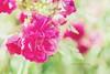 pink bush rose (hueymilunz) Tags: nz newzealandtransition newzealand florafauna flora nature pink colour garden
