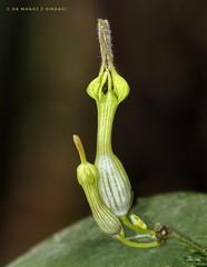 The Lantern flower (Ceropegia candelabrum). (MCSindagi) Tags: sony sonyindia ceropegia lanternflower ceropegiacandelabrum sonyrx10iv sonyrx10miv sonyrx10m4 bengaluru bangalore karnataka telemacro macro closeups manojsindagi