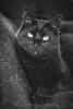 Stare (WillemijnB) Tags: 7dwf cat blackcat feline pet domestic piercing eyes chat kat katze black zwarte noir bnw blackandwhite portrait whiskers moustaches yeux ogen halloween scary beauty dier tier animal bokeh gray grey gris grijs