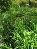 CKuchem-5961 (christine_kuchem) Tags: akelei bienenweide blüte blüten bodendecker buchs buchsbaum buchskugel eibe eibenhecke farn formschnitt garten hochbeet insekten maiglöckchen nahrung natur naturgarten nektar pflanze privatgarten schatten schattengarten selbstaussaat sommer trockenmauer vergissmeinnicht walderdbeere wildpflanze naturnah natürlich wild