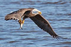 2018.01.27 Eagle outing in LeClaire, Iowa, 0220 (Mike Gatzke) Tags: leclaire iowa unitedstates usa bald eagle haliaeetus leucocephalus mississippi river ld14