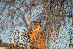 Black-capped Chickadee in a Cherry Tree (MrPebbleDot) Tags: seriese nikon canon sl2 75150mm f35 blackcapped chickadee zoom