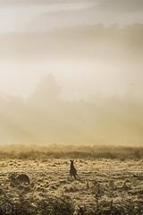 The Morning Stare (kristianoosterveen) Tags: beautiful morning kangaroo australia geehi flats kosciuszko national park dew sunrise sun fog foggy roadtrip kanga aussie nsw new south wales mist landscape australië