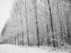 Bien rangés sous la neige. (steph20_2) Tags: panasonic gh4 m43 lumix paysage campagne countryside oise picardie hiver winter monochrome monochrom arbre tree noir noiretblanc ngc blanc black bw white skanchelli 20mm