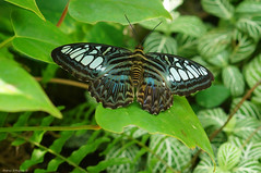 Parthenos Sylvia (Clipper) (Darea62) Tags: parthenossylvia clipper butterfly insect animal nature leaves wings wildlife closeup farfalla tropical