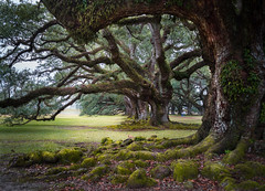Solid Oak Frame (lornahamblin) Tags: oakalley louisiana plantation 300yearoldtrees infinity knarly roots moss green airferns grass