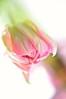 Pink tulip (pixelarized) Tags: pink tulp tulip roze flower bloem