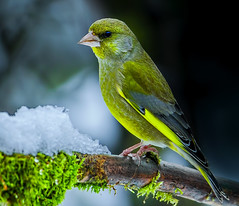 Greenfinch in winter (Bojan Žavcer) Tags: greenfinch canoneos7dmarkii ef600mmf4lisusm animal wildlife nature blue green orange red eye fauna colorful depthoffield wing abstract color outdoor park water white wild avian beautiful birding space long amazing blur broun exotic fascinant fast flight enviromant perching stick sunlight tailed head lovely canonflickraward