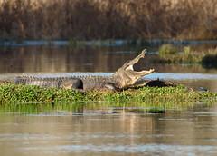 2018-02-16 P1288734 Turtle questions his sunning spot - please view large (Tara Tanaka Digiscoped Photography) Tags: gator alligator swamp florida turtle nature yawn teeth water digiscoped swarovski stx85 gh5 manualfocus gatorisland